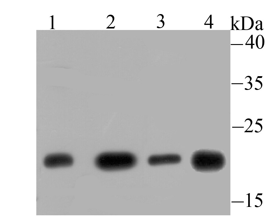 Western blot analysis of GLO1 on different lysates using anti-GLO1 antibody at 1/500 dilution.<br />  Positive control:<br />  Lane 1: Mouse testis tissue <br />  Lane 2: C2C12<br />  Lane 3: 293 <br />  Lane 4: Rat spleen tissue<br />