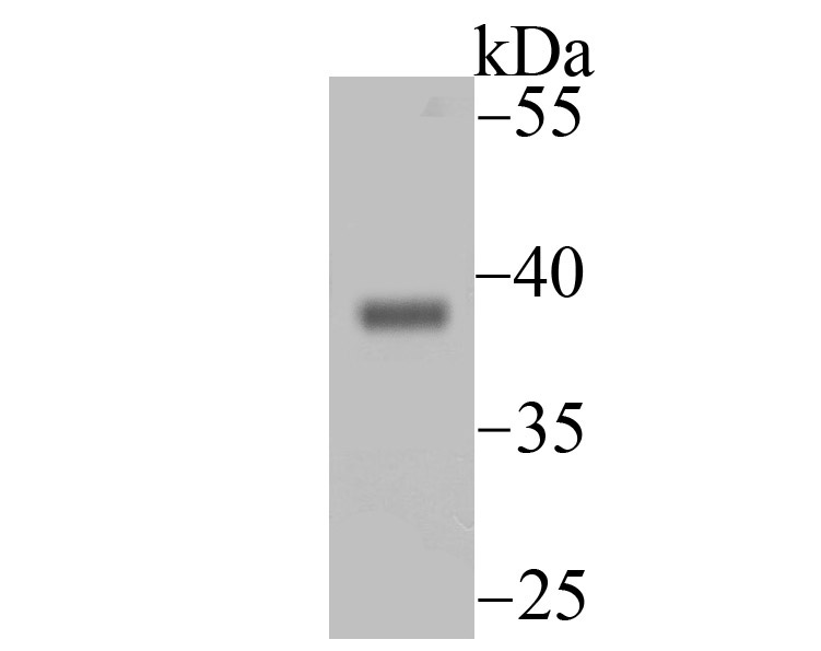 Western blot analysis of Endo G on mouse heart tissue lysate using anti-Endo G antibody at 1/500 dilution.