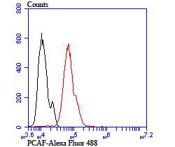 Flow cytometric analysis of Hela cells with PCAF antibody at 1/100 dilution (red) compared with an unlabelled control (cells without incubation with primary antibody; black). Alexa Fluor 488-conjugated goat anti-rabbit IgG was used as the secondary antibody.