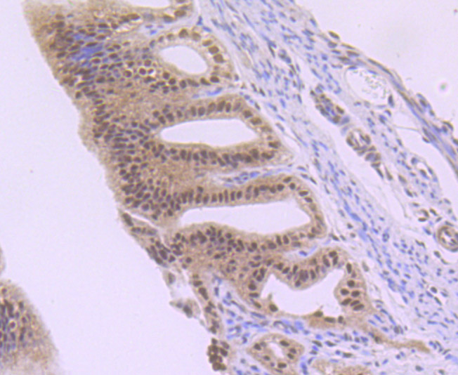 Immunohistochemical analysis of paraffin-embedded mouse fallopian tubes using anti-NR1D1 antibody. Counter stained with hematoxylin.