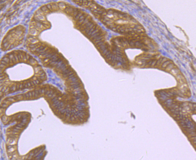 Immunohistochemical analysis of paraffin-embedded mouse fallopian tubes tissue using anti-EB3 antibody. Counter stained with hematoxylin.