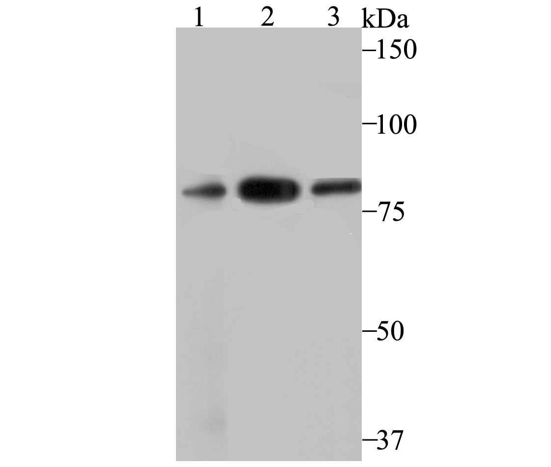 Western blot analysis of VPS35 on different lysates using anti-VPS35 antibody at 1/500 dilution.<br />  Positive control:<br />  Lane 1: PC-3M<br />       Lane 2: U937<br />  Lane 3: SH-SY-5Y