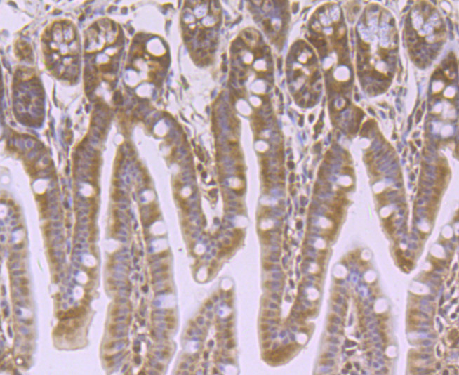 Immunohistochemical analysis of paraffin-embedded mouse colon tissue using anti-VPS35 antibody. Counter stained with hematoxylin.