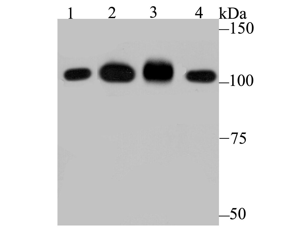 Western blot analysis of SFPQ on different lysates using anti-SFPQ antibody at 1/1,000 dilution.<br />  Positive control:<br />  Lane 1: K562 <br />  Lane 2: Daudi<br />  Lane 3: Mouse testis <br />  Lane 4: Mouse lung<br />