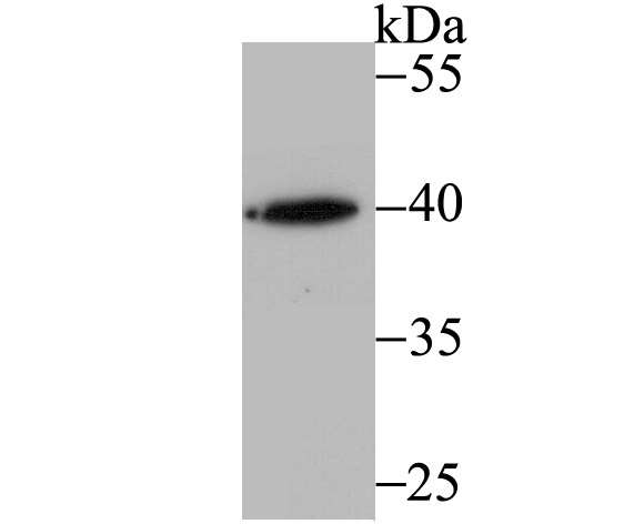 Western blot analysis of RING2 on k562 cell using anti-RING2 antibody at 1/500 dilution.