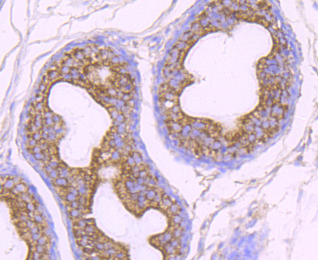 Immunohistochemical analysis of paraffin-embedded rat epididymis tissue using anti-OGT antibody. Counter stained with hematoxylin.