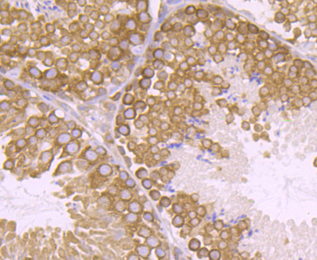 Immunohistochemical analysis of paraffin-embedded mouse testis tissue using anti-VPS26 antibody. Counter stained with hematoxylin.