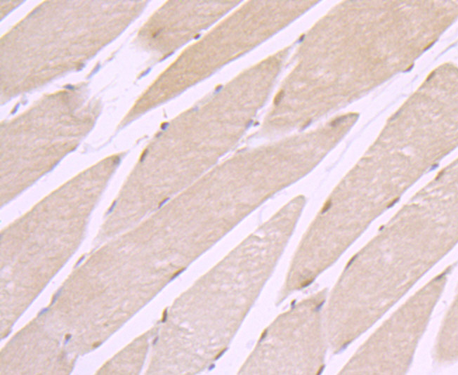 Immunohistochemical analysis of paraffin-embedded rat skeletal muscle tissue using anti-CRM1 antibody. Counter stained with hematoxylin.