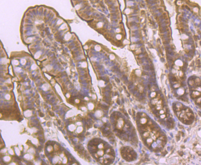 Immunohistochemical analysis of paraffin-embedded mouse colon tissue using anti-PCK2 antibody. Counter stained with hematoxylin.