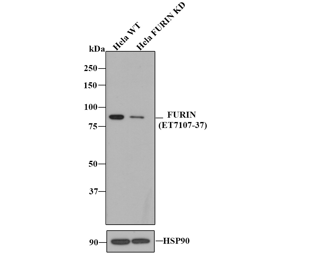 Western blot analysis of Furin on different cell lysates using anti-Furin antibody at 1/500 dilution.<br />   Positive control:<br />   Lane 1: HepG2<br />   Lane 2: Hela<br />   Lane 3: Hela <br />   Lane 4: MCF-7