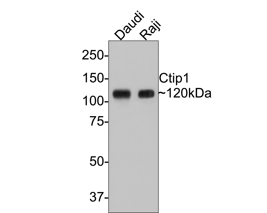 Western blot analysis of Ctip1 on Daudi (1) and U937 (2) cell lysate using anti-Ctip1 antibody at 1/500 dilution.