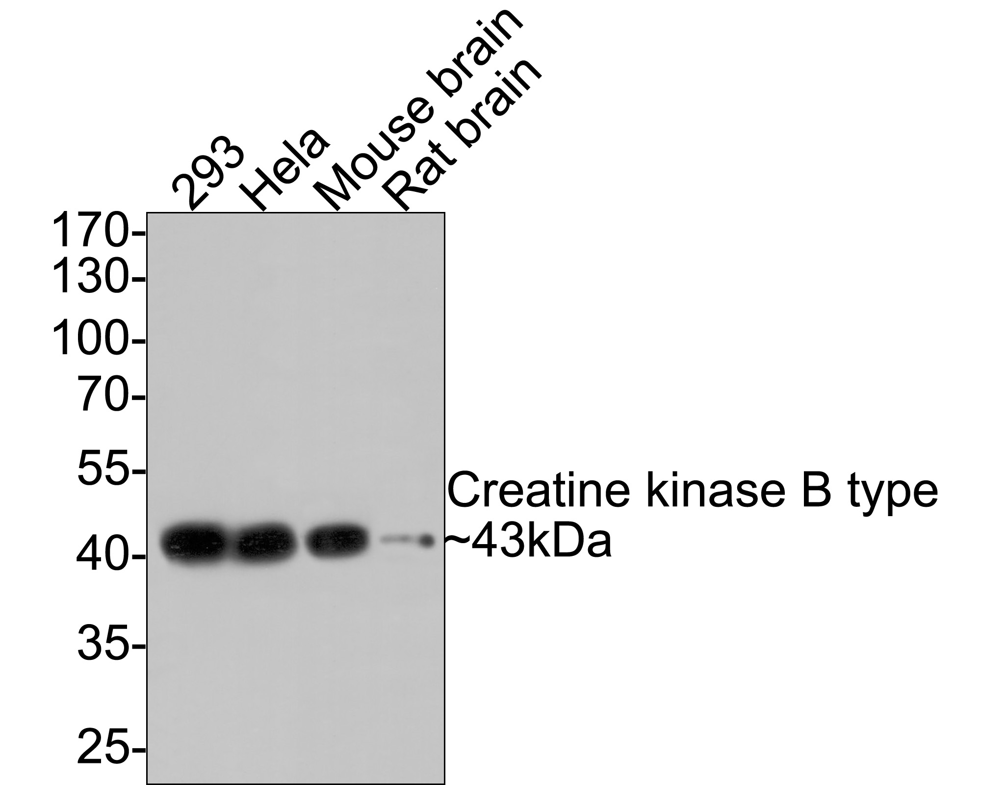Western blot analysis of Creatine kinase B type on different lysates using anti-Creatine kinase B type antibody at 1/500 dilution.<br />   Positive control:<br />   Lane 1: Mouse brain <br />   Lane 2: Mouse brain<br />   Lane 3: Rat brain <br />   Lane 4: 293