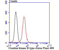 Flow cytometric analysis of 293T cells with Creatine kinase B type antibody at 1/100 dilution (red) compared with an unlabelled control (cells without incubation with primary antibody; black). Alexa Fluor 488-conjugated goat anti rabbit IgG was used as the secondary antibody.