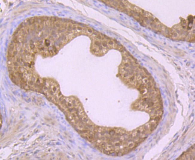 Immunohistochemical analysis of paraffin-embedded rat epididymis tissue using anti-Glutathione Synthetase antibody. Counter stained with hematoxylin.