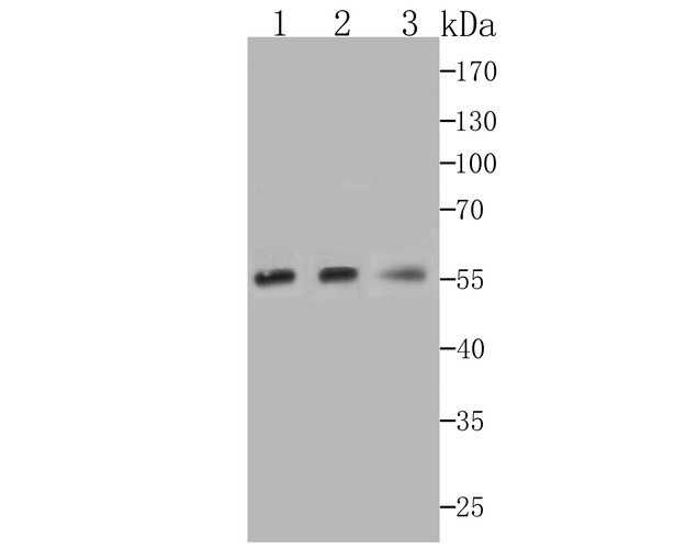 Western blot analysis of Nuf2 on different cell lysates using anti-Nuf2 at 1/1,000 dilution.<br />  Positive control:<br />  Line 1: K562  <br />        Line 2: PC-3M<br />  Line 3: THP-1