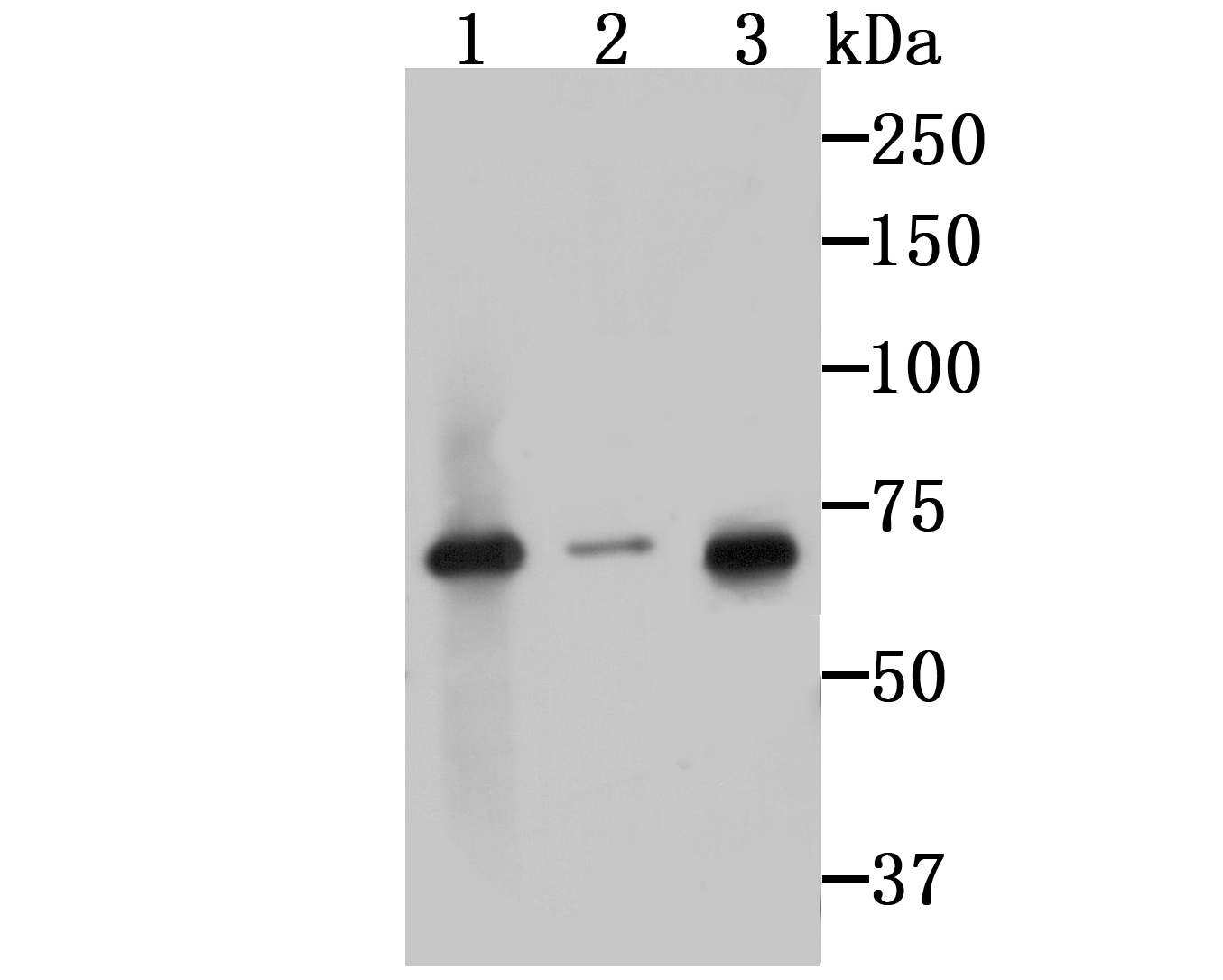 Western blot analysis of IRAK2 on different cell lysates using anti-IRAK2 at 1/500 dilution.<br />  Positive control:<br />  Line 1: PC-3M <br />         Line 2: A549<br />  Line 3: HepG2