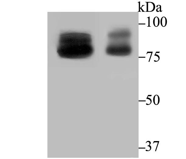 Western blot analysis of OS9 on mouse testis and rat testis tissue lysates using anti-OS9 antibody at 1/2,000 dilution.