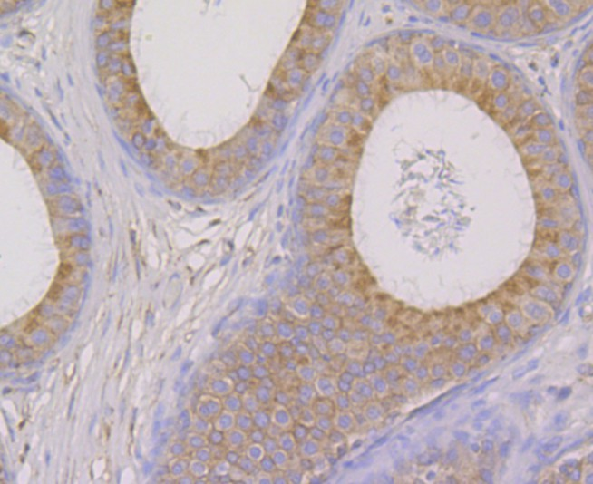 Immunohistochemical analysis of paraffin-embedded rat epididymis tissue using anti-OS9 antibody. Counter stained with hematoxylin.