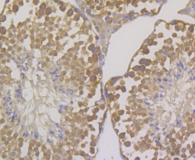 Immunohistochemical analysis of paraffin-embedded mouse testis tissue using anti-OS9 antibody. Counter stained with hematoxylin.