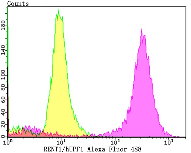 Flow cytometric analysis of PC-3M cells with hUPF1 antibody at 1/100 dilution (purple) compared with an unlabelled control (cells without incubation with primary antibody; yellow).  Alexa Fluor 488-conjugated goat anti-rabbit IgG was used as the secondary antibody.