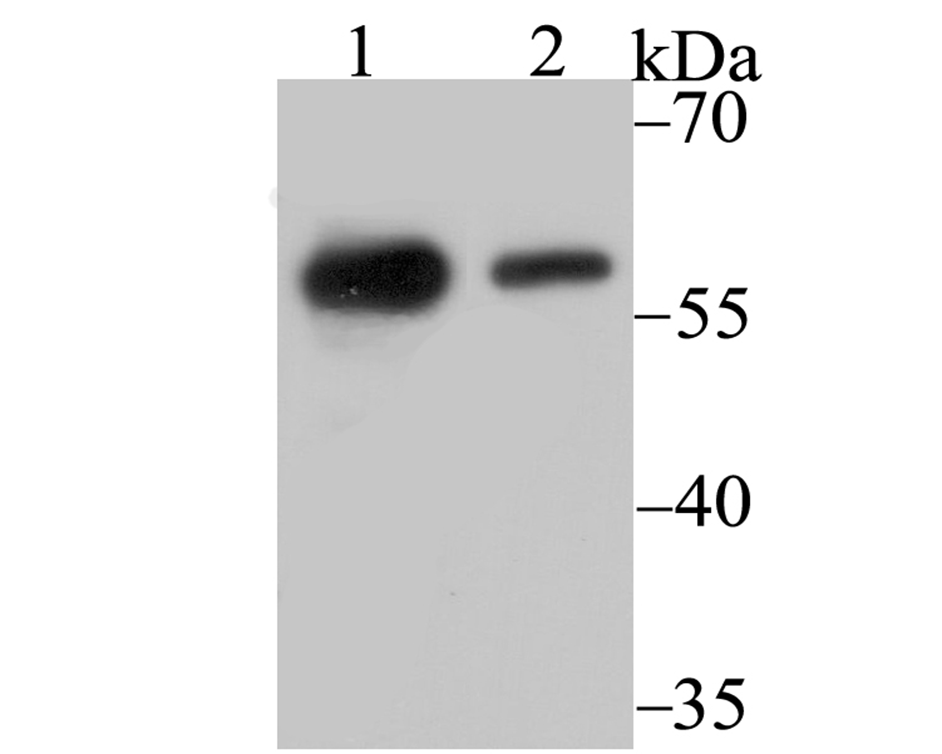 Western blot analysis of p54nrb on 293 (1) and SH-SY-5Y (2) cell lysate using anti-p54nrb antibody at 1/500 dilution.