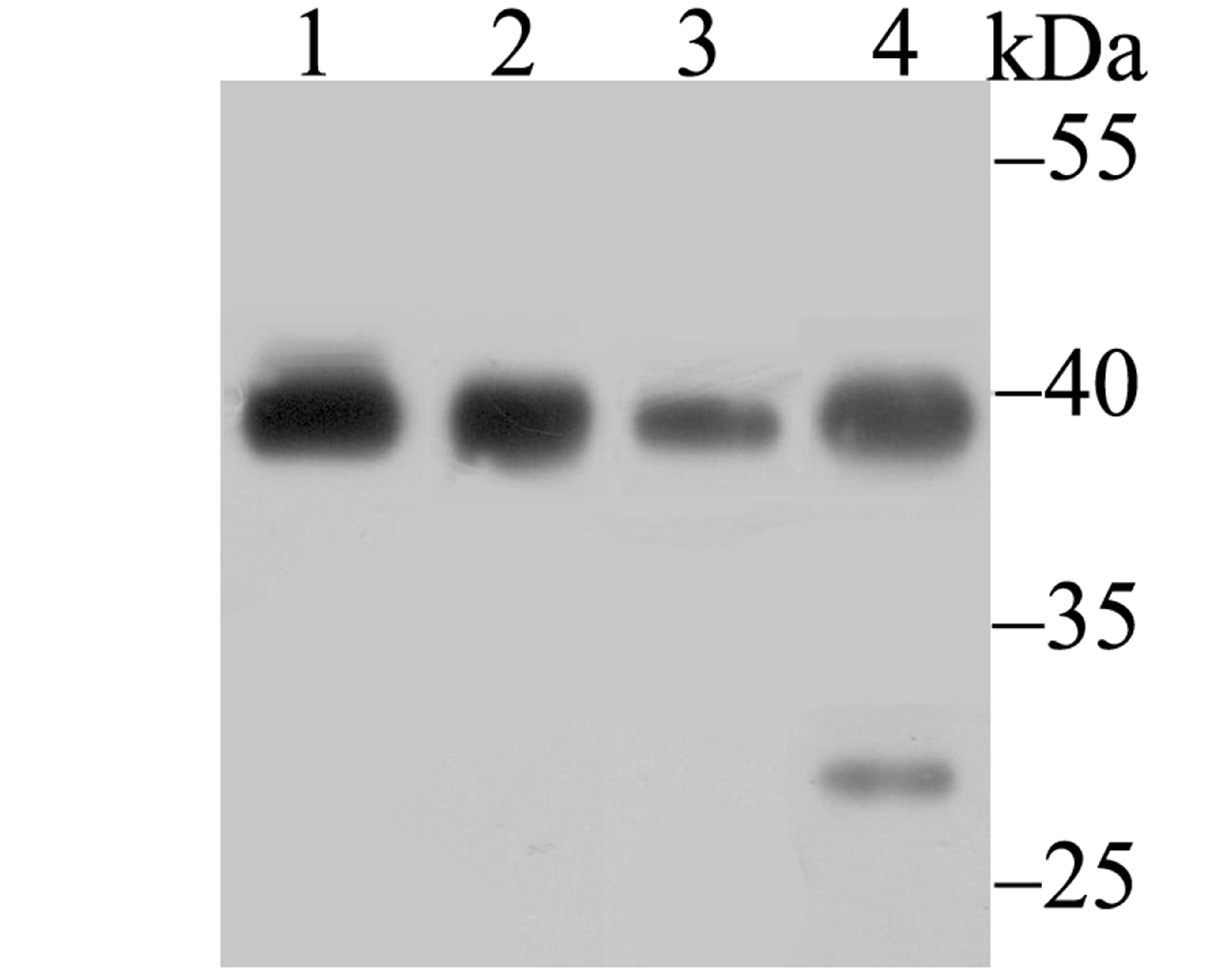 Western blot analysis of Bub3 on different lysates using anti-Bub3 antibody at 1/500 dilution.<br />  Positive control:<br />  Lane 1: A549<br />         Lane 2: HL-60<br />  Lane 3: A431  <br />       Lane 4: Rat colon