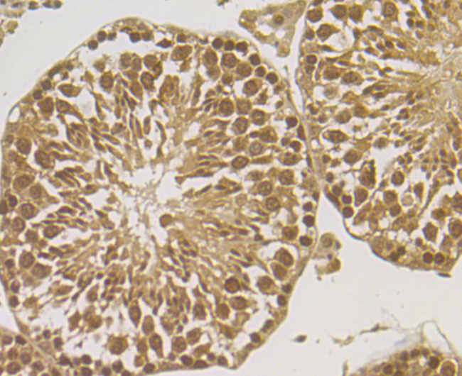 Immunohistochemical analysis of paraffin-embedded mouse testis tissue using anti-ORP150 antibody. Counter stained with hematoxylin.
