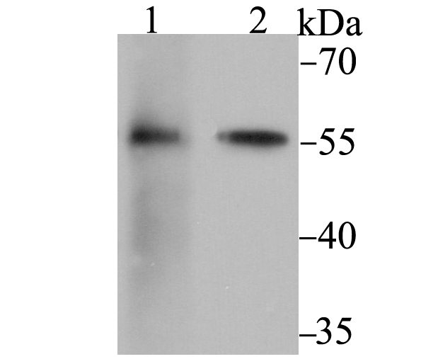 Western blot analysis of FKBP52 on 293 (1) and SK-Br-3 (2) cell lysate using anti-FKBP52 antibody at 1/2,000 dilution.