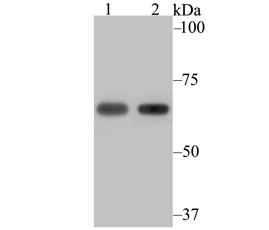 Western blot analysis of NXF1 on 293 (1) and SiHa (2) cell lysate using anti-NXF1 antibody at 1/2,000 dilution.