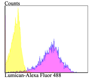 Flow cytometric analysis of 293T cells with Lumican antibody at 1/100 dilution (purple) compared with an unlabelled control (cells without incubation with primary antibody; yellow).  Alexa Fluor 488-conjugated goat anti-rabbit IgG was used as the secondary antibody.