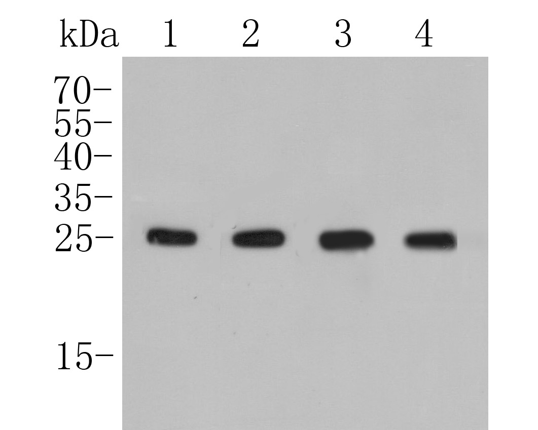 Western blot analysis of BAG2 on different lysates. Proteins were transferred to a PVDF membrane and blocked with 5% BSA in PBS for 1 hour at room temperature. The primary antibody (ET7109-62, 1/500) was used in 5% BSA at room temperature for 2 hours. Goat Anti-Rabbit IgG - HRP Secondary Antibody (HA1001) at 1:5,000 dilution was used for 1 hour at room temperature.<br /> Positive control: <br /> Lane 1: Hela cell lysate<br /> Lane 2: A549 cell lysate<br /> Lane 1: K562 cell lysate<br /> Lane 2: HepG2 cell lysate