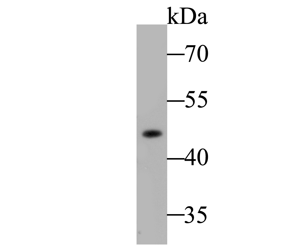 Western blot analysis of ACADM on mouse liver tissue lysate. Proteins were transferred to a PVDF membrane and blocked with 5% BSA in PBS for 1 hour at room temperature. The primary antibody (ET7109-74, 1/500) was used in 5% BSA at room temperature for 2 hours. Goat Anti-Rabbit IgG - HRP Secondary Antibody (HA1001) at 1:5,000 dilution was used for 1 hour at room temperature.