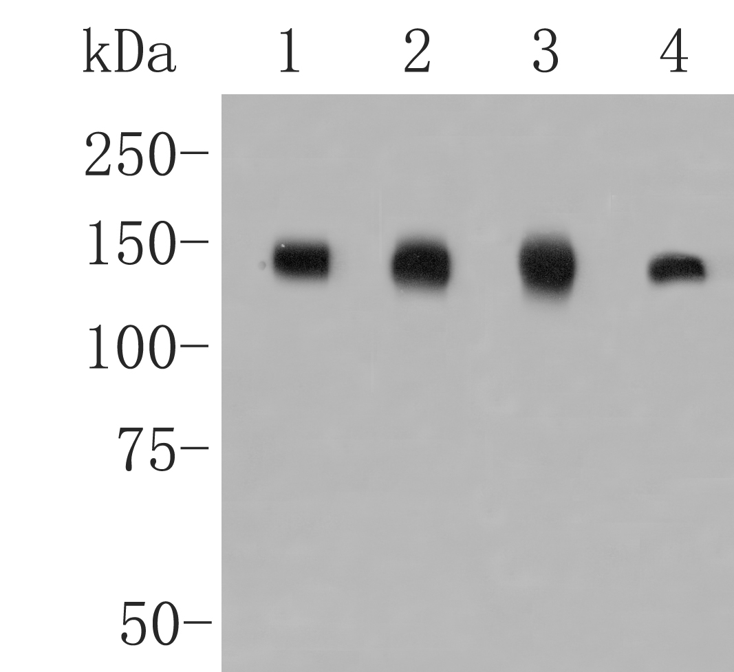 Western blot analysis of CLSTN1 on different lysates. Proteins were transferred to a PVDF membrane and blocked with 5% BSA in PBS for 1 hour at room temperature. The primary antibody (ET7109-84, 1/2000) was used in 5% BSA at room temperature for 2 hours. Goat Anti-Rabbit IgG - HRP Secondary Antibody (HA1001) at 1:5,000 dilution was used for 1 hour at room temperature.<br /> Positive control: <br /> Lane 1: Mouse brain tissue lysate<br /> Lane 2: Siha cell lysate<br /> Lane 3: Mouse cerebellum tissue lysate<br /> Lane 4: A431 cell lysate