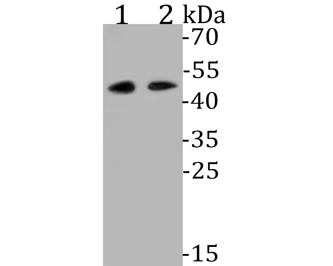 Western blot analysis of WNT5B on different lysates. Proteins were transferred to a PVDF membrane and blocked with 5% BSA in PBS for 1 hour at room temperature. The primary antibody (ET7110-34, 1/500) was used in 5% BSA at room temperature for 2 hours. Goat Anti-Rabbit IgG - HRP Secondary Antibody (HA1001) at 1:5,000 dilution was used for 1 hour at room temperature.<br /> Positive control: <br /> Lane 1: Hela cell lysate<br /> Lane 2: HepG2 cell lysate