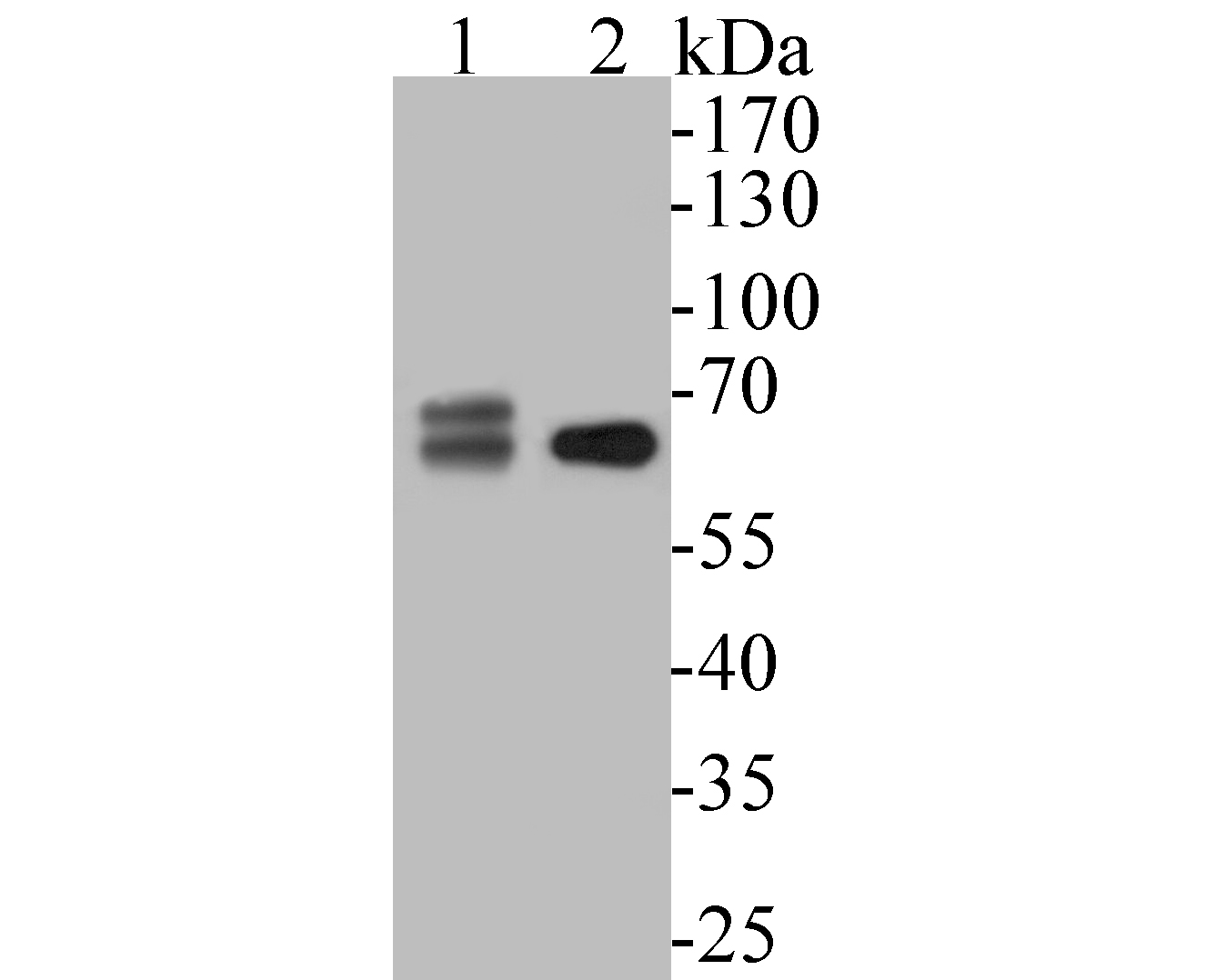 Western blot analysis of SPAK on different lysates. Proteins were transferred to a PVDF membrane and blocked with 5% BSA in PBS for 1 hour at room temperature. The primary antibody (ET7110-37, 1/500) was used in 5% BSA at room temperature for 2 hours. Goat Anti-Rabbit IgG - HRP Secondary Antibody (HA1001) at 1:5,000 dilution was used for 1 hour at room temperature.<br /> Positive control: <br /> Lane 1: Jurkat cell lysate<br /> Lane 2: HepG2 cell lysate