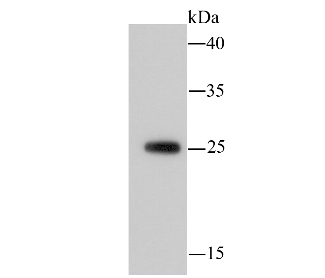Western blot analysis of 14-3-3b/a on hybrid fish (crucian-carp) brain tissue lysate using anti-14-3-3b/a antibody at 1/500 dilution.