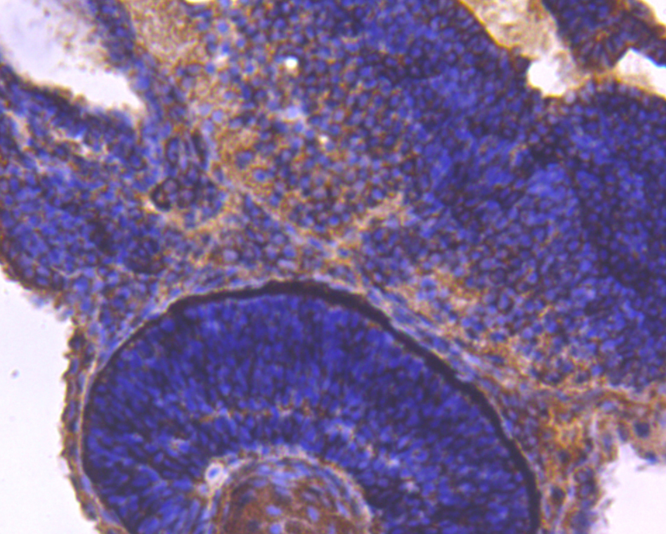 Immunohistochemical analysis of paraffin-embedded Zebrafish tissue using anti-14-3-3b/a antibody. Counter stained with hematoxylin.