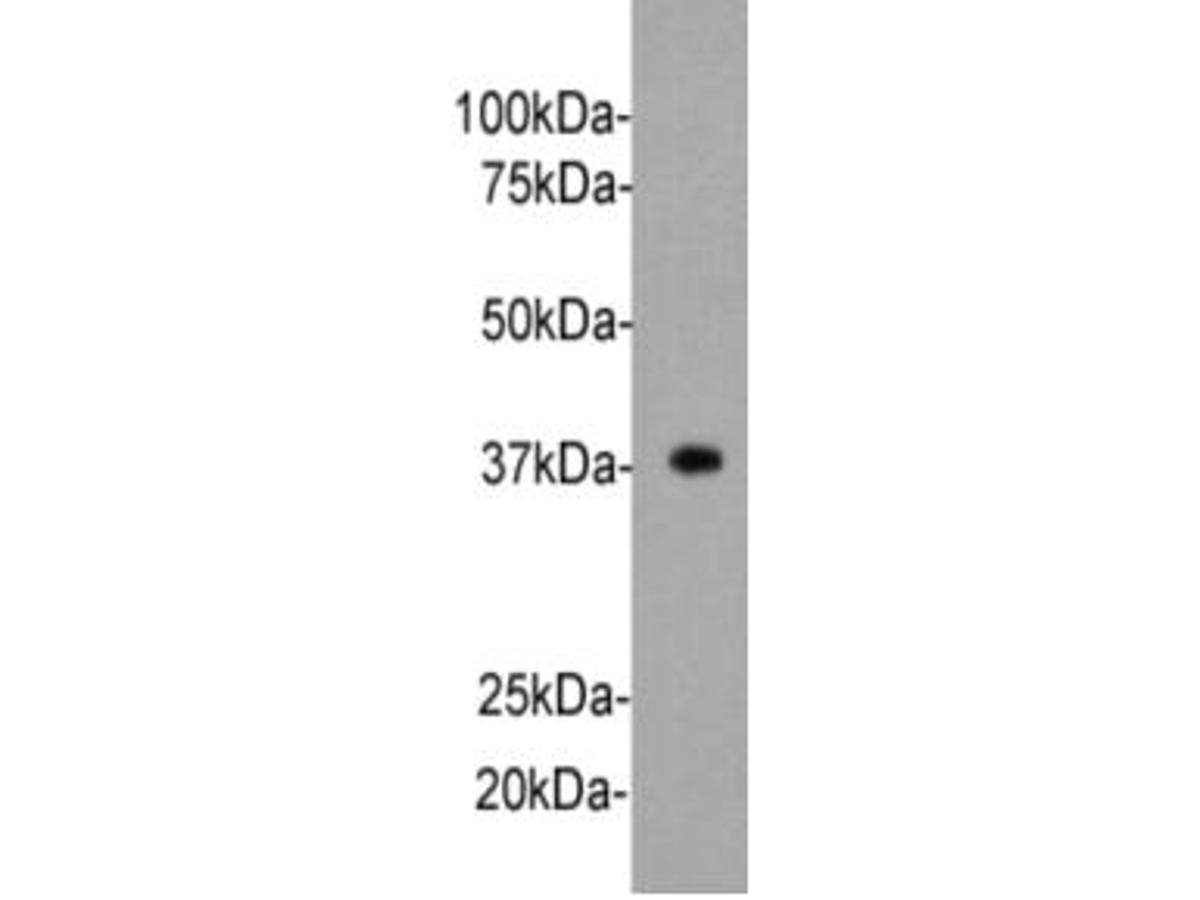 Western blot analysis of Synaptophysin on mouse brain tissue lysate using anti-Synaptophysin antibody at 1/2,000 dilution.