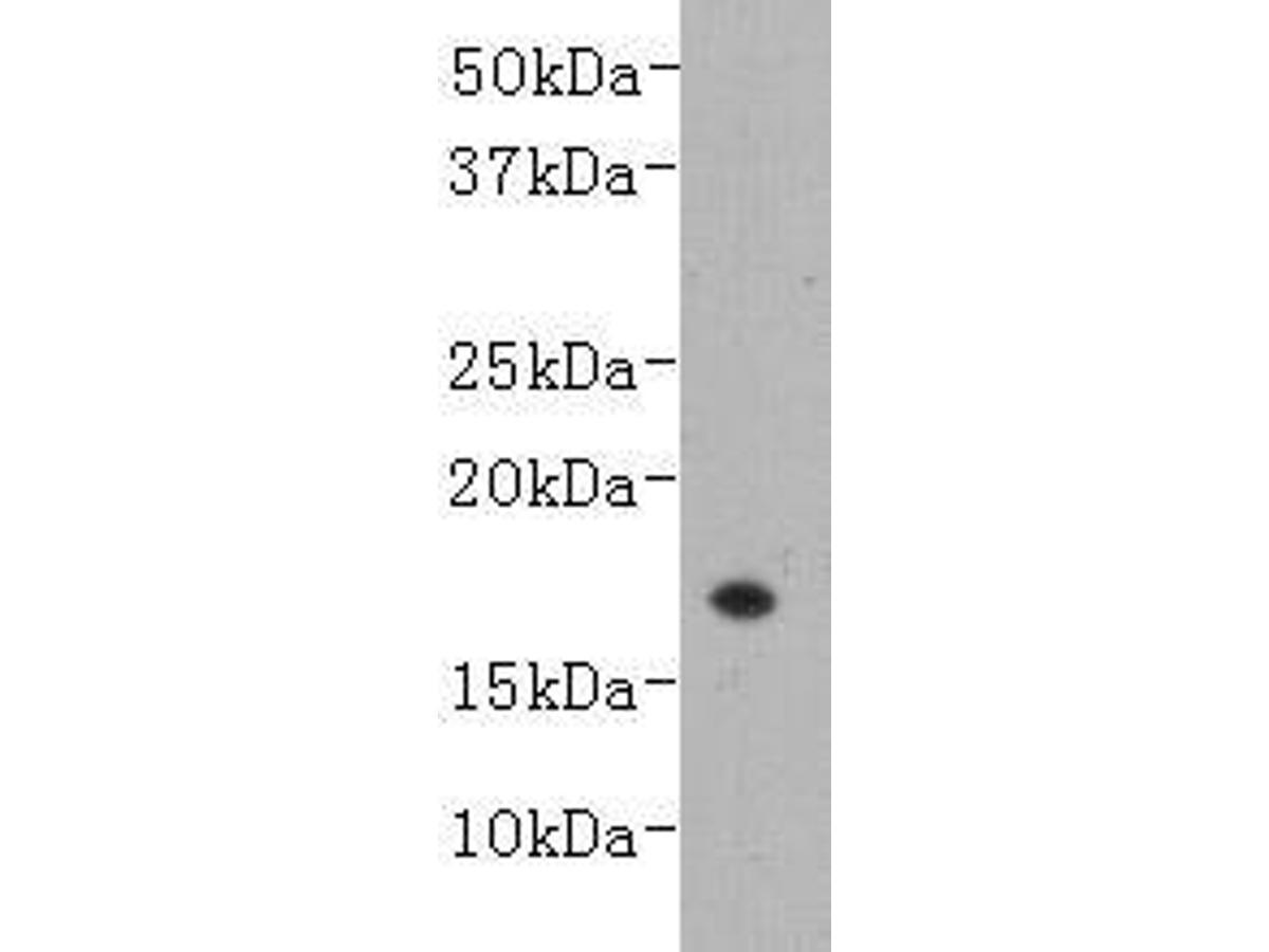 Western blot analysis on recombinant LT-alpha (TNF-β) using anti- LT-alpha monoclonal antibody.