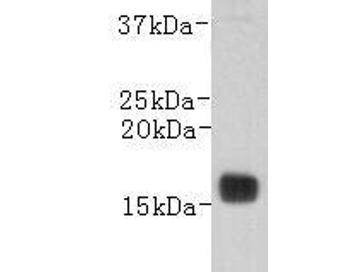 Western blot analysis on human plasma using anti-Transthyretin Mouse mAb (Cat. # M0809-12).