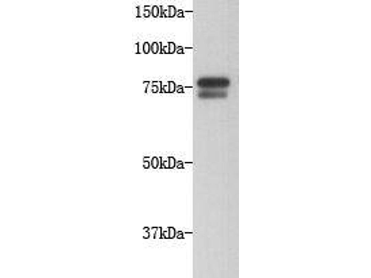 Western blot analysis on Hela cell lysates using anti-GOLGA5 Mouse mAb (Cat. # M1004-6).