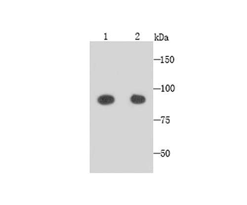 Western blot analysis of GRAMD1A on NIH/3T3 (1) and SHG-44 (2) cells lysates using anti-GRAMD1A antibody at 1/1,000 dilution.