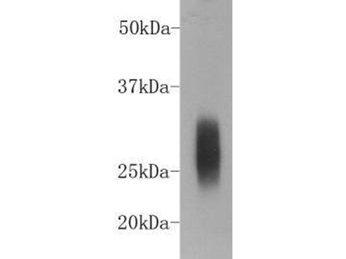 Western blot analysis on rabbit  serum using mouse anti-rabbit IgG κ light chain Conjugated HRP(Cat. # M1208-2).