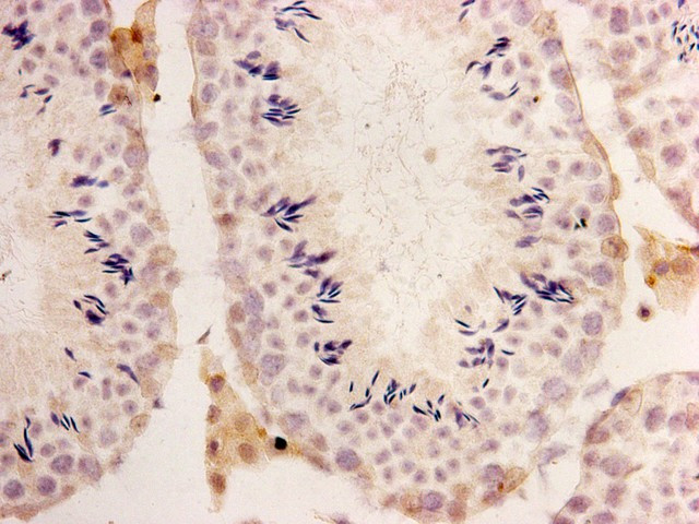 Immunohistochemical analysis of paraffin- embedded testis tissue of OCT4-IRES-EGFP mouse(B6;129S4-Pou5f1tm2Jae/J) using anti-GFP Mouse mAb (Cat. # M1210-1).