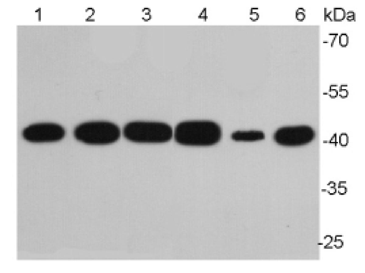 Western blot analysis of Beta-actin on different cell lysates using anti- Beta-actin antibody at 1/10000 dilution.<br /> Positive control:<br /> Lane 1: NIH/3T3<br /> Lane 2: PC12<br /> Lane 3: MCF-7<br /> Lane 4: HepG2<br /> Lane 5: Hela<br /> Lane 6: Mouse lung