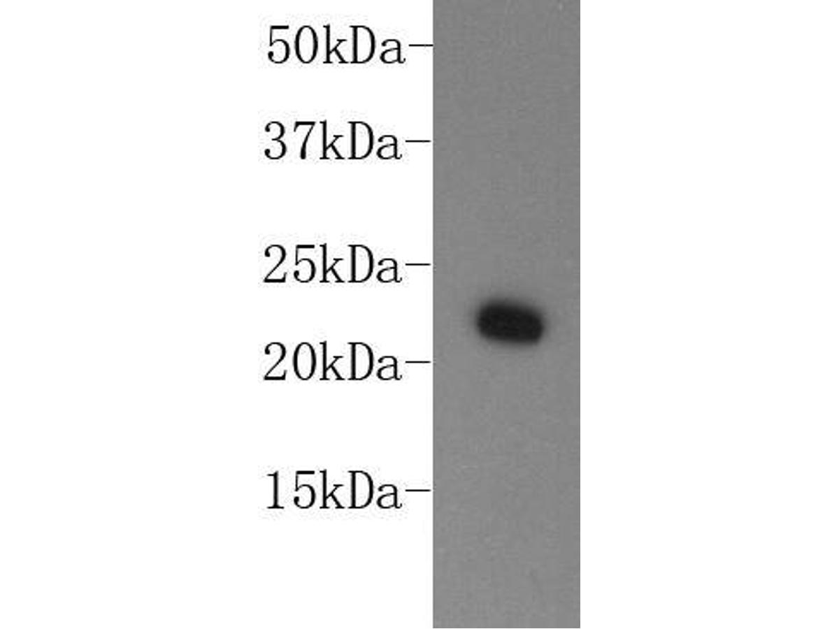Western blot analysis on MCF-7 cell lysates using anti-HP-1αMouse mAb (Cat. # M1211-2).