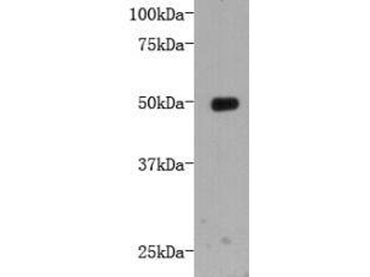 Western blot analysis on recombinant protein using anti-LRP-1 Mouse mAb (Cat. # M1211-4).