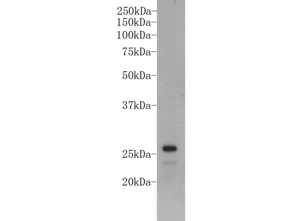 Western blot analysis on NCCIT cell lysates using anti-LIN28A Mouse mAb (Cat. #M1301-1).