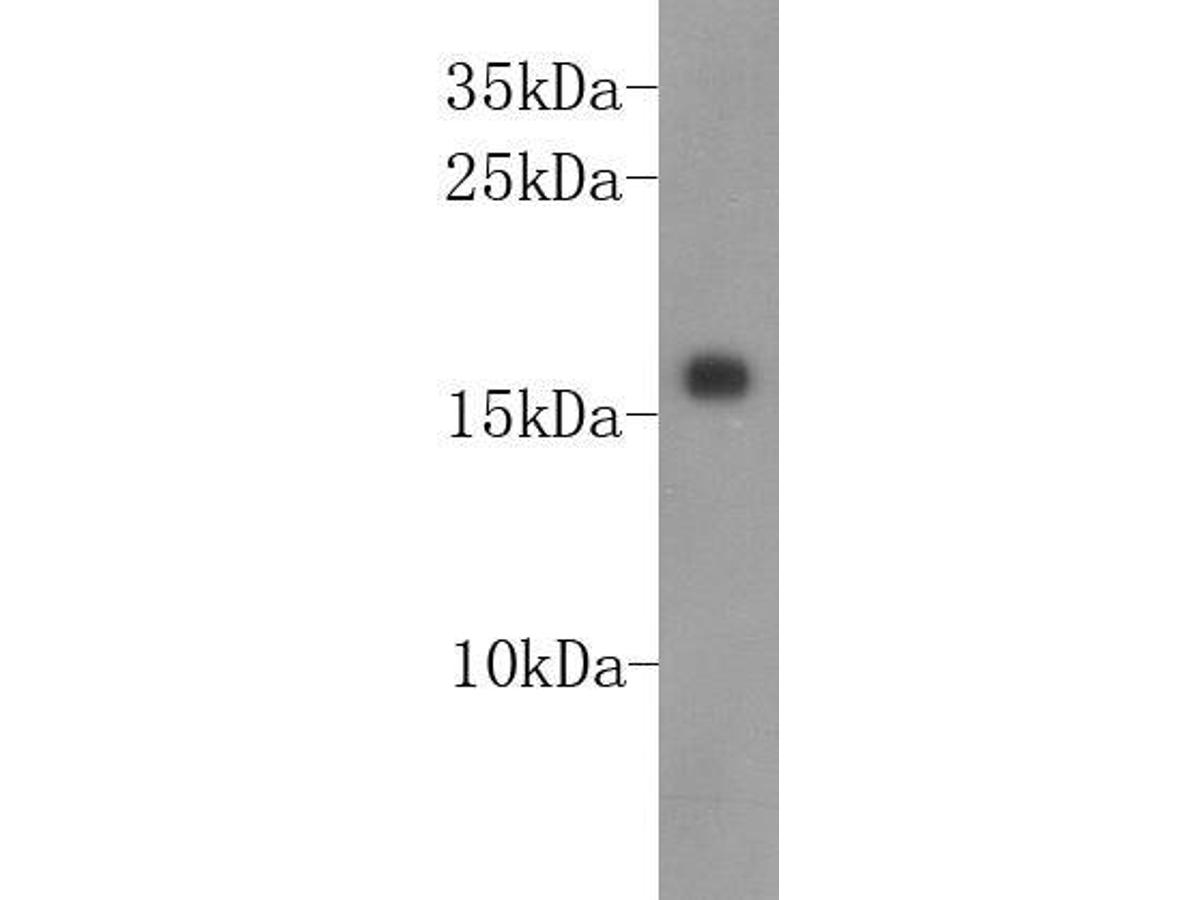 Western blot analysis on recombinant  protein lysates using anti-ID2 Mouse mAb (Cat. # M1301-2).