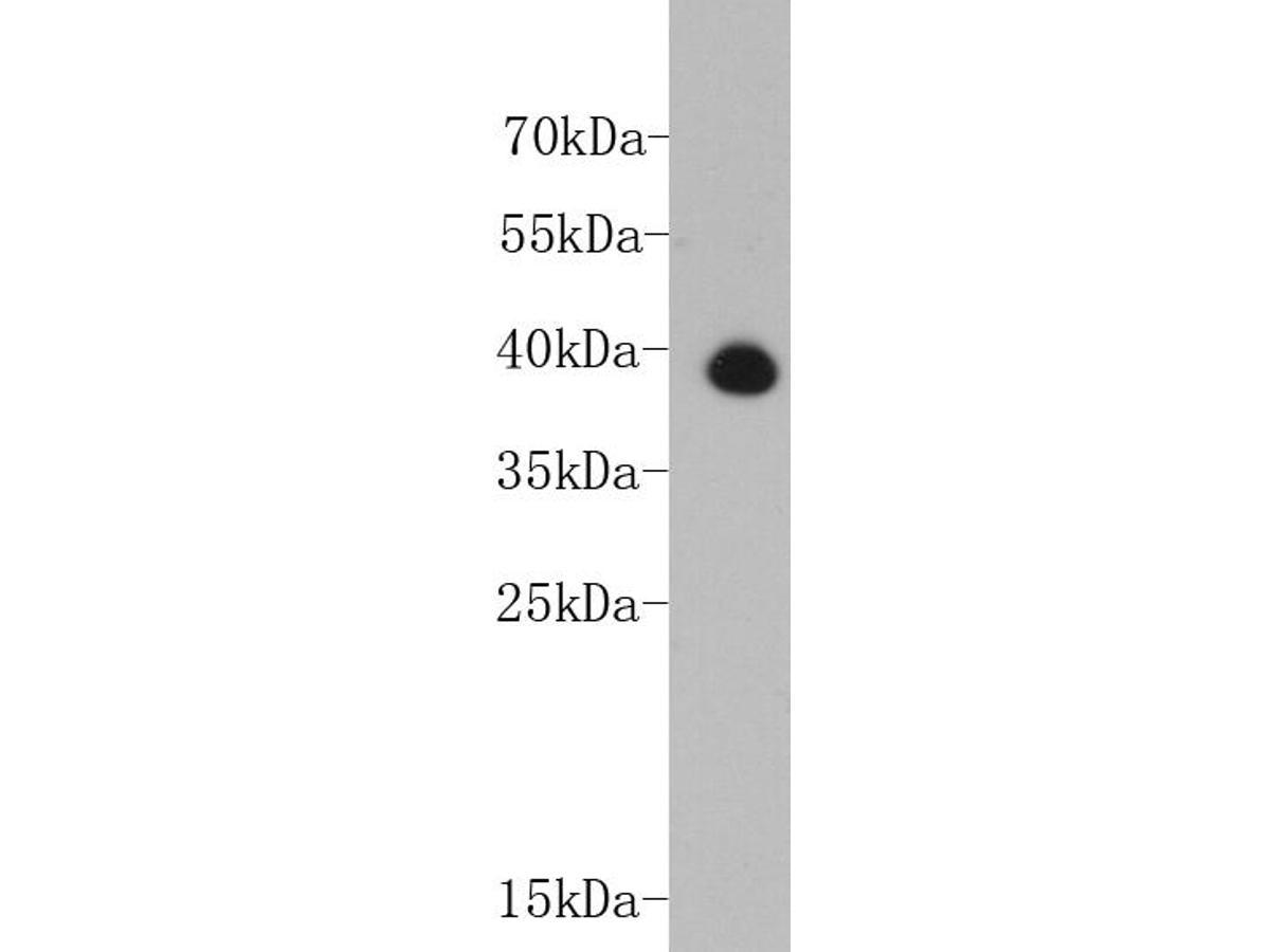 Western blot analysis of TNNT2 on human heart tissue lysate using anti-TNNT2 antibody at 1/2,000 dilution.